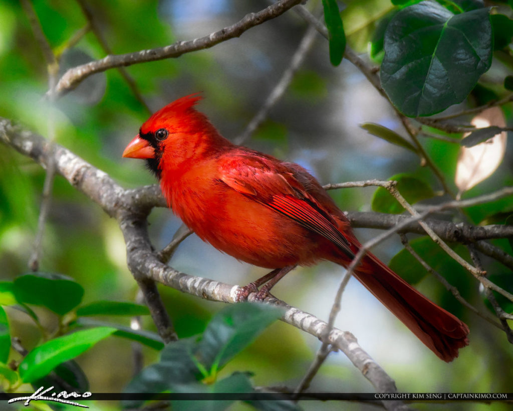 red cardinal at window meaning.jpg